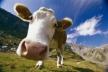 Чи порятує корову сімейна ферма?