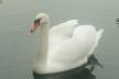 У містечку на Тернопільщині залишилися зимувати лебеді