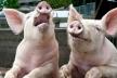 На Тернопільщині чотири тисячі свиней збираються тримати за 200 метрів від школи і садочка