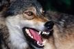 Жителів Тернопільщини попереджають, що біля двох сіл розгулює зграя агресивних вовків