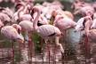 Зграя рожевих фламінго прилетіла на Сиваш