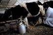 Аграрна Тернопільщина: Молоко із селянських дворів