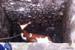 У Збаразькому районі корова провалилася у силосну яму