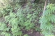 Житель Борщівського району вирощував коноплю в себе на городі
