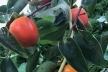 На Тернопільщині чоловік вирощує 40 сортів хурми