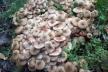 На Тернопільщині небувалий врожай грибів (Фото)