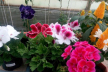 Квітковий рай у Трибухівцях на Тернопільщині