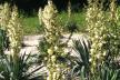 На Тернопільщині зацвіло «дерево щастя»