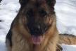 На Тернопільщині собака допоміг знайти поліцейським крадія