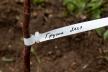 На Тернопільщині посадили Лесині груші