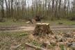 На Тернопільщині незаконно зрубали 25 дерев: лісників притягнули до відповідальності