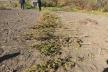 У Тернопільській громаді виявили незаконний посів коноплі
