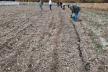 На Тернопільщині висіяли тонну жолудя дуба звичайного