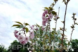 У Тернополі розквітли найвідоміші японські деревця