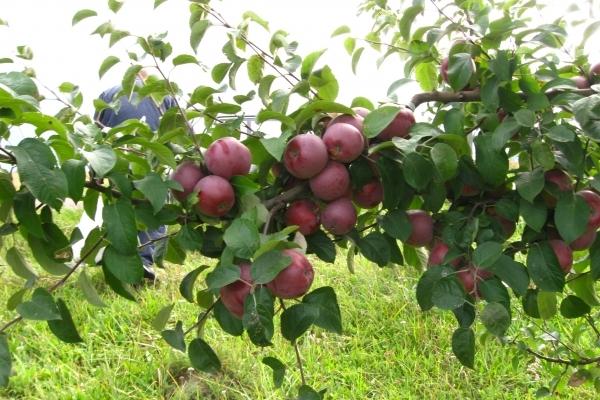 Аграрна Тернопільщина: Над Дністром зацвітуть персикові сади