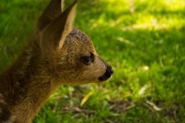 У тернопільському парку «Топільче» народилося оленятко (Фотофакт)