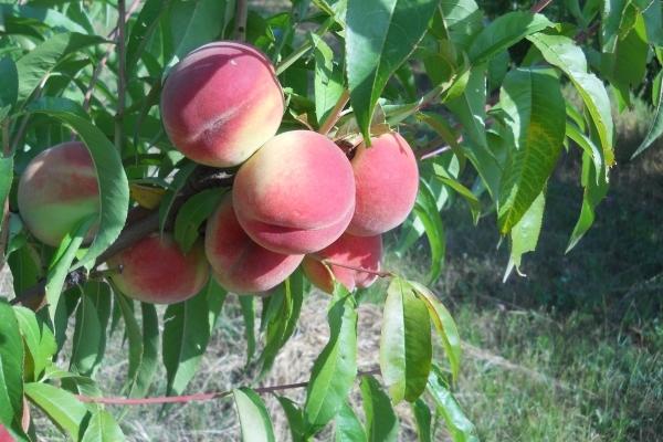 Аграрна Тернопільщина: абрикосовий дивосвіт