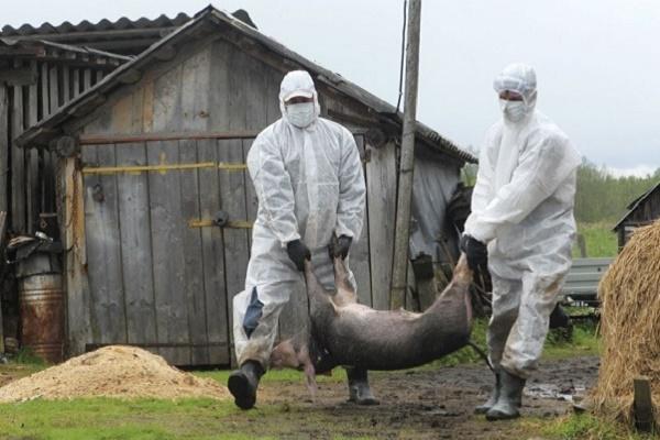 Ще раз про африканську чуму свиней на Тернопільщині