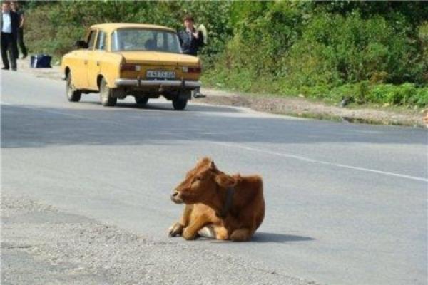 На Тернопільщині теля спричинило ДТП