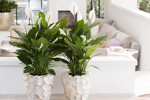 Які кімнатні рослини варто тернополянам тримати у домівках?
