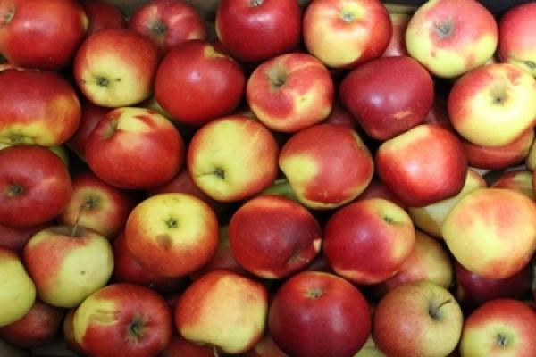 ФГ Гадз із Тернопільщини відправить на експорт понад 50% урожаю яблук