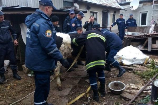 У Тернополі корову визволяли з ... підвалу