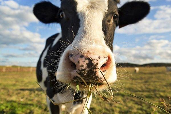 На Тернопільщині за подряпане авто нелюди забрали в бабусі корову