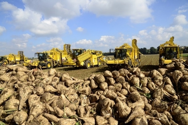 Близько мільйона тонн цукрових буряків зібрали на Тернопіллі