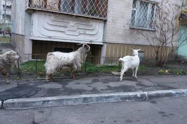 У спальному районі Києва пасуться кози