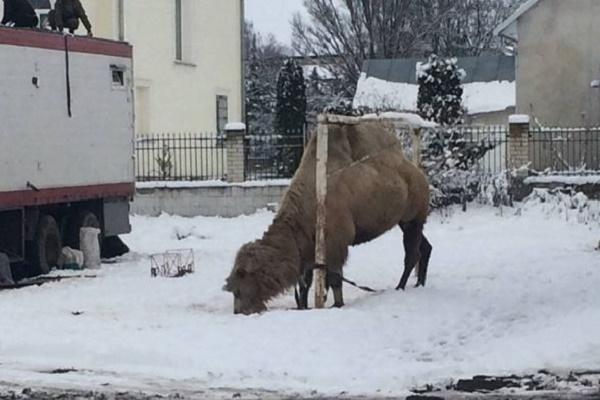 На Тернопільщині мандрівний цирк «забув» верблюда