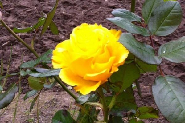 На півдні Тернопільщини зацвіли троянди (Фото)