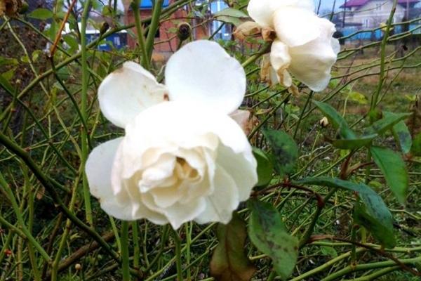 Весняна зима на Тернопіллі: в Заліщиках цвітуть троянди (Фото)