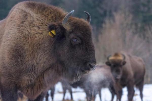 Українські Карпати поповнились рідкісними тваринами