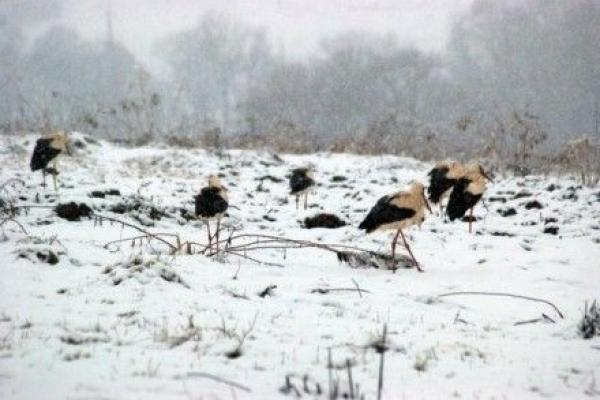 Лелеки на Тернопільщині в небезпеці: можуть загинути від холоду та голоду
