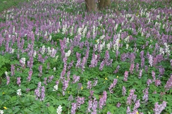 У лісах поблизу Тернополя справжня природня аромотерапія – цвіте ряст (Фото) a8f1d02bb14c4