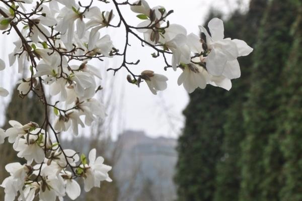 На Тернопільщину прийшла справжня весна: у Кременці цвітуть магнолії (Фото)