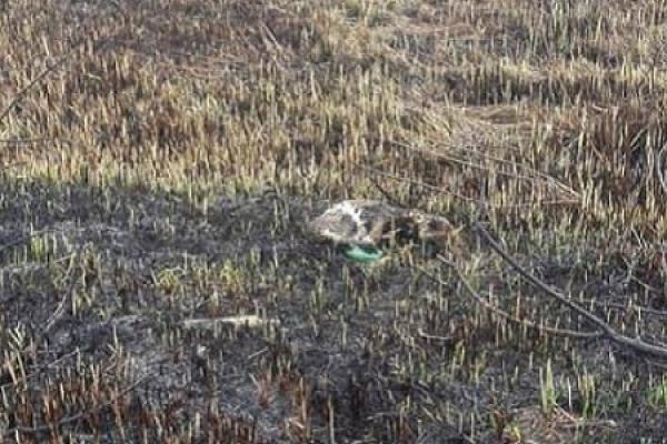 Неподалік Тернополян, підпаливши суху траву, селяни заживо спалили тварин (Фото)