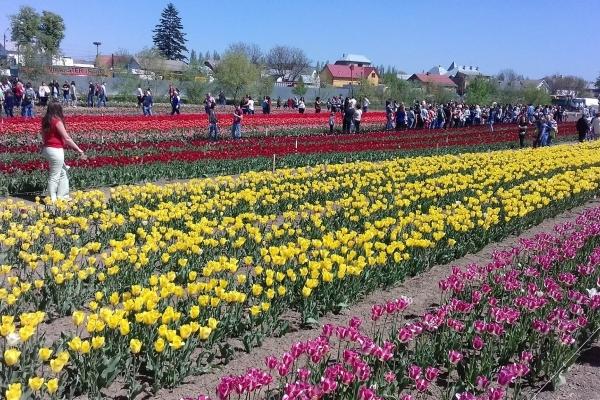 Тюльпани в Мамаївцях: найочікуваніший фестиваль весни (Фото)