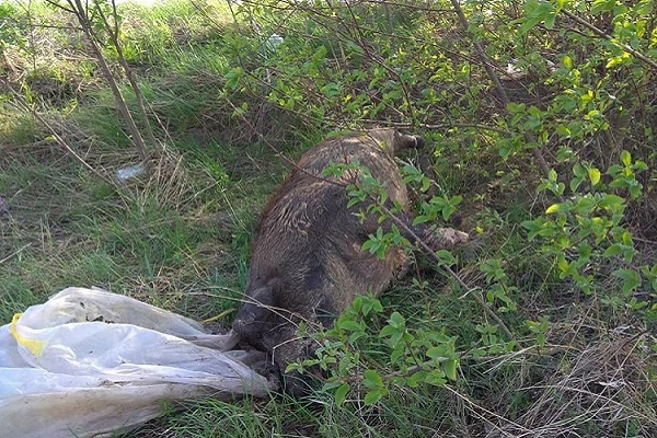На Тернопільщині на узбіччі дороги викинули мертвих свиней (Фото)
