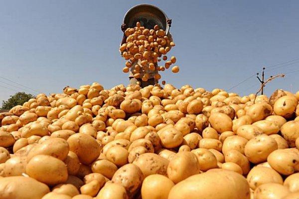 Жителі Шумщини здають картоплю для районної лікарні і стареньких одиноких людей