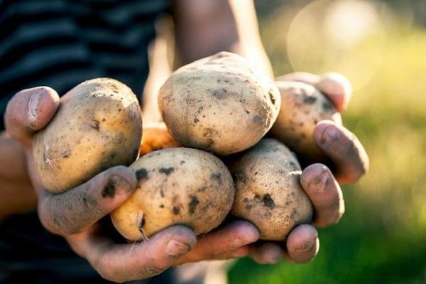 На Тернопільщині шкідник знищує картоплю