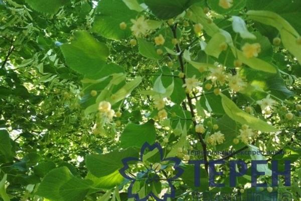 Аномальне цвітіння на Тернопільщині