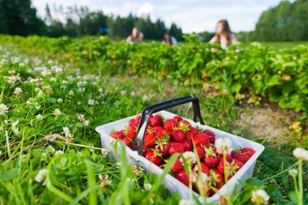 Українці відмовляються їхати на збір полуниці у Польщу