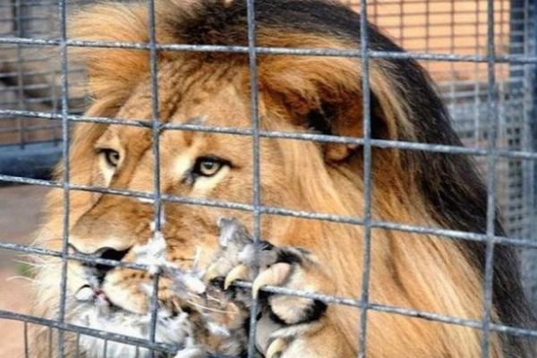 На Тернопільщині лев роздер руку дитині