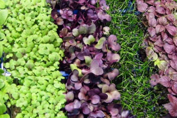 На Тернопільщині вирощують мікрогрін та їстівні квіти