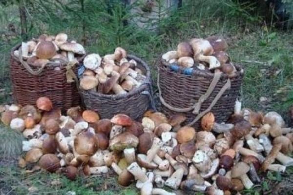 Подружжя назбирало у лісі майже 100 кілограмів білих грибів