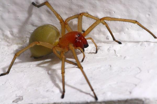 Павука, що входить в топ 10 отруйних комах, виявили на Тернопільщині