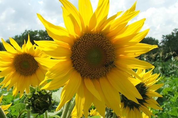 У моєму дитинстві були соняшникові джунглі і бджоли діда Якова