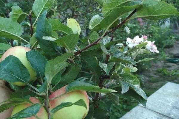 На Тернопільщині яблуні одночасно плодоносять і цвітуть