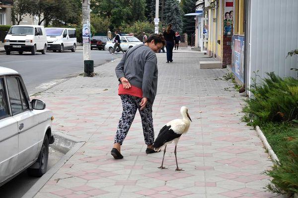 Поранений лелека прилетів у Скалат на Тернопільщині та їсть у людей із рук